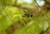 Amazilia saucerottei; Steely-vented hummingbird; Stålblåbukig smaragd