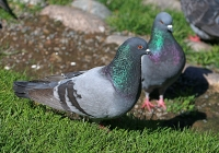 Columba livia; Rock dove; Tamduva