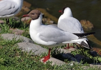 Larus ridibundus; Black-headed gull; Skrattmås