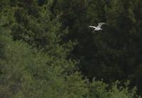Hydroprogne caspia; Caspian tern; Skräntärna