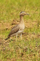 Burhinus bistriatus; Double-striped thick-knee; Amerikansk tjockfot
