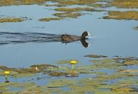 Fulica atra; Eurasian coot; Sothöna