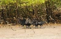 Coragyps atratus; American black vulture; Korpgam