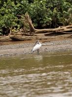 Mycteria americana; Wood stork; Amerikansk ibisstork