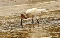 Eudocimus albus; White ibis; Vit ibis