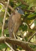 Cochlearius cochlearius; Boat-billed heron [Boatbill]; Båtnäbb