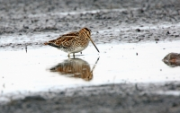 Gallinago gallinago; Common snipe; Enkelbeckasin
