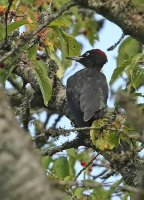 Dryocopus martius; Black woodpecker; Spillkråka