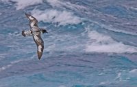 Daption capense capense; Cape petrel; Brokpetrell
