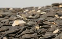 Motacilla alba; White wagtail; Sädesärla
