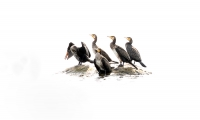 Phalacrocorax carbo; Great cormorant; Storskarv