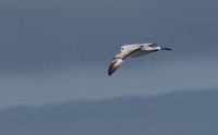 Fulmarus glacialoides; Southern (Antarctic) fulmar; Sydstormfågel