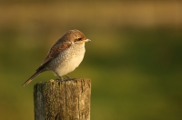 Lanius collurio; Red-backed shrike; Törnskata