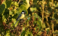 Parus major; Great tit; Talgoxe