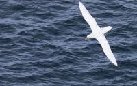 Macronectes giganteus; Southern giant petrel; Sydlig jättestormfågel