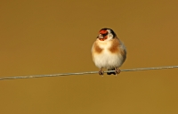 Carduelis carduelis; European goldfinch; Steglits