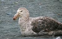 Macronectes halli; Northern giant-petrel; Nordlig jättestormfågel