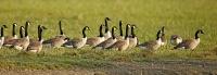 Branta canadensis; Canada goose; Kanadagås