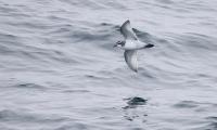 Pachyptila desolata; Antarctic prion; Antarktisk valfågel