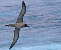 Phoebetria palpebrata; Light-mantled sooty albatross; Ljusryggad sotalbatross