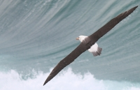 Thalassarche melanophris; Black-browed albatross; Svartbrynad albatross