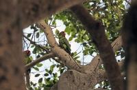 Psittacara erythrogenys; Red-masked parakeet; Rödmaskparakit