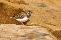 Arenaria interpres; Ruddy turnstone; Roskarl