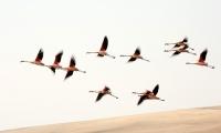Phoenicopterus chilensis; Chilean flamingo; Chileflamingo