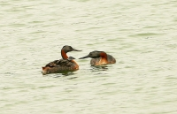 Podiceps major; Great grebe; Stordopping