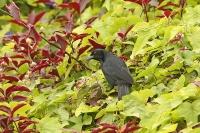 Molothrus bonariensis; Shiny cowbird; Glanskostare