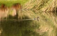 Oxyura ferruginea; Andean duck; Andinsk kopparand