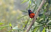 Anisognathus igniventris; Scarlet-bellied mountain tanager; Rödbukig bergtangara