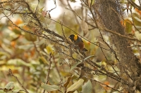 Iridosornis jelskii; Golden-collared tanager; Kanelbukig tangara