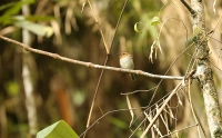 Poecilotriccus plumbeiceps; Ochre-faced tody-flycatcher; Blykronad todityrann