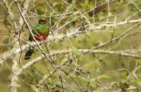 Pharomacrus auriceps; Golden-headed quetzal; Guldhuvad quetzal