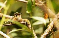 Schistes geoffroyi; Wedge-billed hummingbird; Kilnäbbskolibri