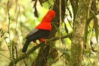 Rupicola peruviana; Andean cock-of-the-rock; Andinsk klippfågel