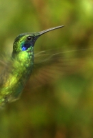 Colibri coruscans; Sparkling violet-ear; Glitteröronkolibri