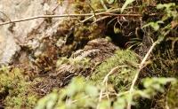 Uropsalis lyra; Lyre-tailed nightjar; Lyrstjärtad nattskärra
