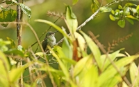 Leucippus hypostictus; Many-spotted hummingbird; Mångfläckig kolibri