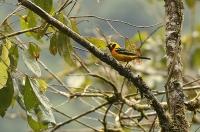 Tangara arthus; Golden tanager; Guldtangara