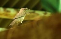 Turdus ignobilis; Black-billed thrush; Svartnäbbad trast