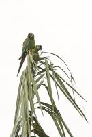 Ara severa; Chestnut-fronted macaw; Dvärgara