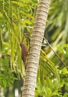 Dendrocolaptes picumnus; Black-banded woodcreeper; Tvärbandad trädklättrare
