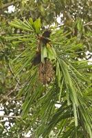 Psarocolius angustifrons alfredi; Russet-backed oropendula; Rostryggig oropendula