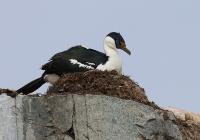 Phalacrocorax bransfieldensis; Antarctic shag; Antarktisskarv