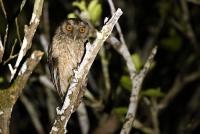 Megascops watsonii; Tawny-bellied screech owl; Gulbröstad skrikuv