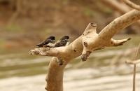 Atticora fasciata; White-banded swallow; Vitbandad svala
