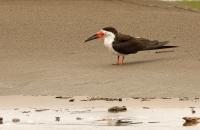 Rynchops niger; Black skimmer; Amerikansk saxnäbb