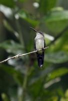 Thalurania furcata; Fork-tailed woodnymph; Svalstjärtad skogsnymf